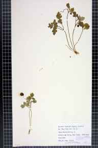 Adoxa moschatellina herbarium specimen from Dover, VC15 East Kent in 1918 by Dr Chambre Corker Vigurs.