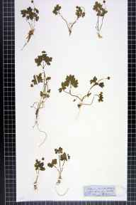 Adoxa moschatellina herbarium specimen from Banchory, VC91 Kincardineshire in 1855 by W Sutherland.