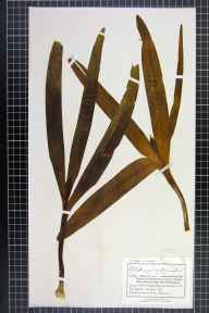 Colchicum autumnale herbarium specimen from Much Marcle, VC36 Herefordshire in 1894 by Mr Charles Bailey.