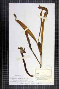 Colchicum autumnale herbarium specimen from VC55 Leicestershire in 1886 by Dr  Finch.