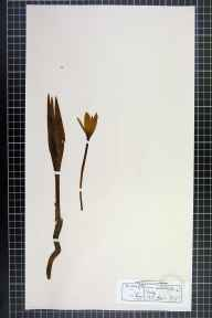 Colchicum autumnale herbarium specimen from Derby, VC57 Derbyshire in 1875 by Rev William Hunt Painter.