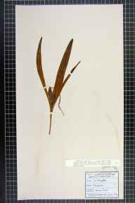 Colchicum autumnale herbarium specimen from Worcester, VC37 Worcestershire in 1852 by George Maw.