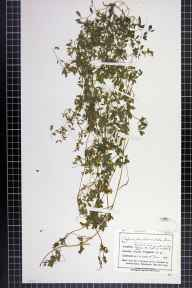 Ceratocapnos claviculata herbarium specimen from Helsby, VC58 Cheshire in 1875 by Mr John Harbord Lewis.