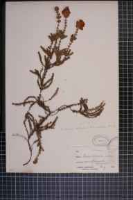 Erica ciliaris x tetralix = E. x watsonii herbarium specimen from Chacewater, VC1 West Cornwall in 1874 by Mr James Cunnack.
