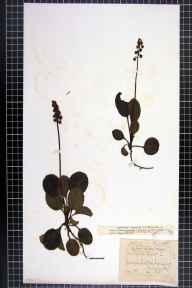 Pyrola minor herbarium specimen from Irlam, VC59 South Lancashire in 1864 by John Edward Whalley.