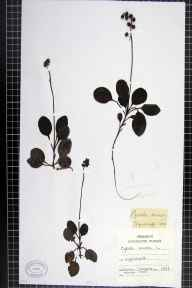 Pyrola minor herbarium specimen from Wyndcliff, VC35 Monmouthshire in 1888 by Chenevix-Trench.