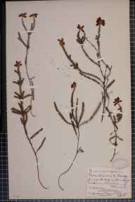 Erica ciliaris x tetralix = E. x watsonii herbarium specimen from Wareham, VC9 Dorset in 1910 by Mr Harold Stuart Thompson.
