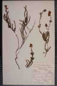 Erica ciliaris x tetralix = E. x watsonii herbarium specimen from Penryn, VC1 West Cornwall in 1877 by Mr James Cunnack.