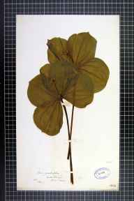 Paris quadrifolia herbarium specimen from Hale Barnes, VC58 Cheshire in 1860 by Mr Thomas Rogers.