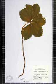 Paris quadrifolia herbarium specimen from Caynham Camp, VC40 Shropshire in 1892.
