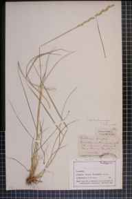 Elytrigia repens x atherica = E. x drucei herbarium specimen from Eastham Ferry, VC58 Cheshire in 1874 by Mr John Harbord Lewis.