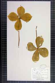 Paris quadrifolia herbarium specimen from Limpley Stoke, VC7 North Wiltshire in 1893 by Mr Charles Bailey.