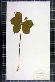 Paris quadrifolia herbarium specimen from Cheltenham, VC33 East Gloucestershire in 1860 by H Beach.