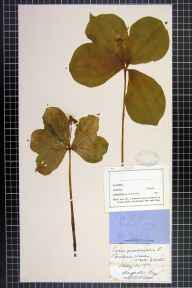 Paris quadrifolia herbarium specimen from Bicknor Woods, VC34 West Gloucestershire in 1876 by Rev. Augustin Ley.
