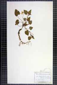 Viola reichenbachiana herbarium specimen from Norton's Wood, VC6 North Somerset in 1884 by Mr James Walter White.
