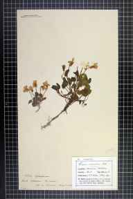 Viola reichenbachiana herbarium specimen from Folkestone Warren, VC15 East Kent in 1898 by Mr Edgar Franklin Cooper.