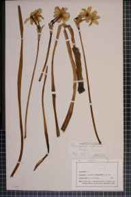 Narcissus tazetta x poeticus = N. x medioluteus herbarium specimen from Hilbre Island, VC58 Cheshire in 1860 by Mr Henry Smith Fisher.