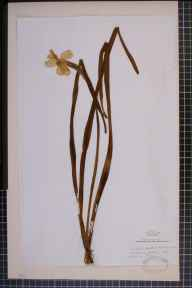 Narcissus tazetta x poeticus = N. x medioluteus herbarium specimen from Luddenden, VC63 South-west Yorkshire in 1844 by Rev. Samuel King.
