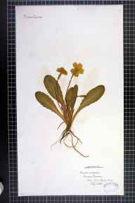Primula vulgaris herbarium specimen from Gatley, VC58 Cheshire in 1863 by Mr Charles Bailey.