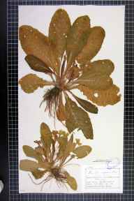 Primula vulgaris herbarium specimen from Holford Moss, Plumbley, VC58 Cheshire in 1878 by Mr Charles Bailey.