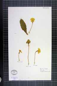 Primula vulgaris herbarium specimen from Cugeley, Gloucestershire in 1956.
