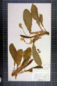 Primula vulgaris herbarium specimen from Saint Ives, VC1 West Cornwall in 1909 by Mr Charles Bailey.
