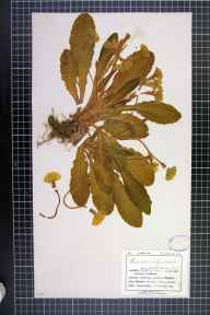 Primula vulgaris herbarium specimen from Falmouth, VC1 West Cornwall in 1909 by Mr Charles Bailey.