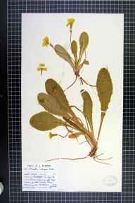 Primula vulgaris herbarium specimen from Ullapool (Nw of),Achiltibuie, VC105 West Ross & Cromarty in 1963 by Mr Arthur John Farmer.
