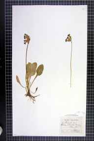 Primula veris herbarium specimen from Bowdon, VC58 Cheshire in 1862 by George Edward Hunt.