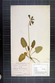 Primula veris herbarium specimen from Stetchford, VC37 Worcestershire in 1880 by J Headley Neale.