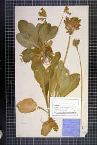 Primula veris herbarium specimen from Tattenhall, VC58 Cheshire in 1879 by Mr John Harbord Lewis.