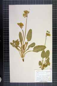 Primula veris herbarium specimen from Maltby, VC63 South-west Yorkshire in 1899 by Mr Charles Bailey.