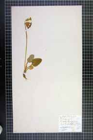 Primula veris herbarium specimen from Fritchley, VC57 Derbyshire in 1869 by L B Sargent.