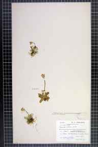 Primula scotica herbarium specimen from Bettyhill, VC108 West Sutherland in 1897 by Dr William Andrew Shoolbred.