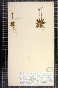 Primula scotica herbarium specimen from Links of Dunnet, VC109 Caithness in 1880 by Dr Henry Halcro Johnston.