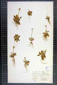 Primula scotica herbarium specimen from Hill of Midland, VC111 Orkney in 1879 by Dr Henry Halcro Johnston.