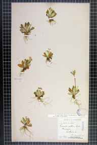 Primula scotica herbarium specimen from Durness, VC108 West Sutherland in 1906 by Mr Francis Chalmers Crawford.