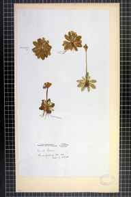 Primula scotica herbarium specimen from Thurso, VC109 Caithness in 1855 by Mr Robert Dick.