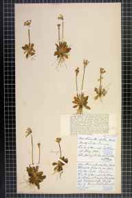 Primula scotica herbarium specimen from Dunnet Bay, VC109 Caithness in 1880 by Margaret M Brock.