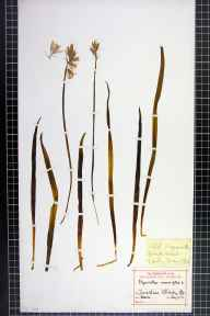 Hyacinthoides non-scripta herbarium specimen from Manchester, Blackley, VC59 South Lancashire in 1893 by E J Abdela.