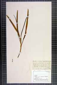 Hyacinthoides non-scripta herbarium specimen from Garston, VC59 South Lancashire in 1880 by Mr John Harbord Lewis.