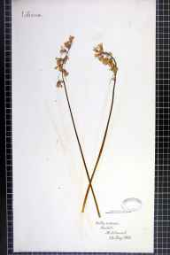 Hyacinthoides non-scripta herbarium specimen from Middlewood, VC58 Cheshire in 1862.