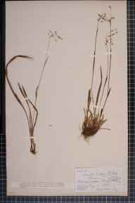 Luzula forsteri x pilosa = L. x borreri herbarium specimen from Bishop's Wood, VC36 Herefordshire in 1880 by Rev. Augustin Ley.