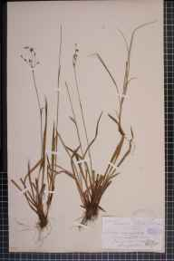Luzula forsteri x pilosa = L. x borreri herbarium specimen from Wynd Cliff, VC35 Monmouthshire in 1879 by Rev. Augustin Ley.
