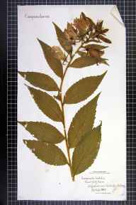 Campanula latifolia herbarium specimen from Newbridge Hollow, VC58 Cheshire in 1862 by Mr Charles Bailey.