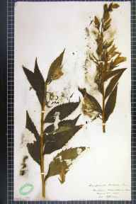 Campanula latifolia herbarium specimen from Fountains Abbey, VC64 Mid-west Yorkshire in 1903 by H L Craven.