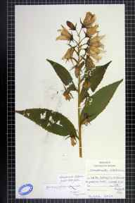 Campanula latifolia herbarium specimen from Whitby, VC62 North-east Yorkshire in 1916.
