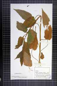 Campanula latifolia herbarium specimen from Allexton Wood, VC55 Leicestershire in 1900 by Mr Lester Vallis Lester-Garland.