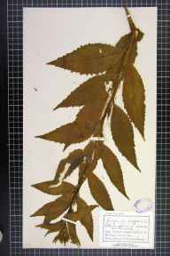 Campanula latifolia herbarium specimen from Shap, VC69 Westmorland in 1892 by Mr Charles Bailey.