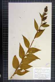 Campanula latifolia herbarium specimen from Clapham, VC64 Mid-west Yorkshire in 1886 by Mr Charles Bailey.